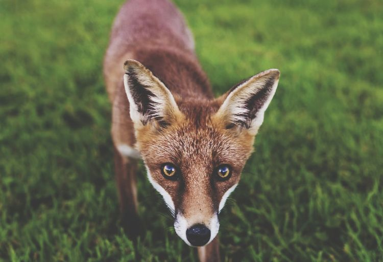 Close-up portrait of fox standing on field
