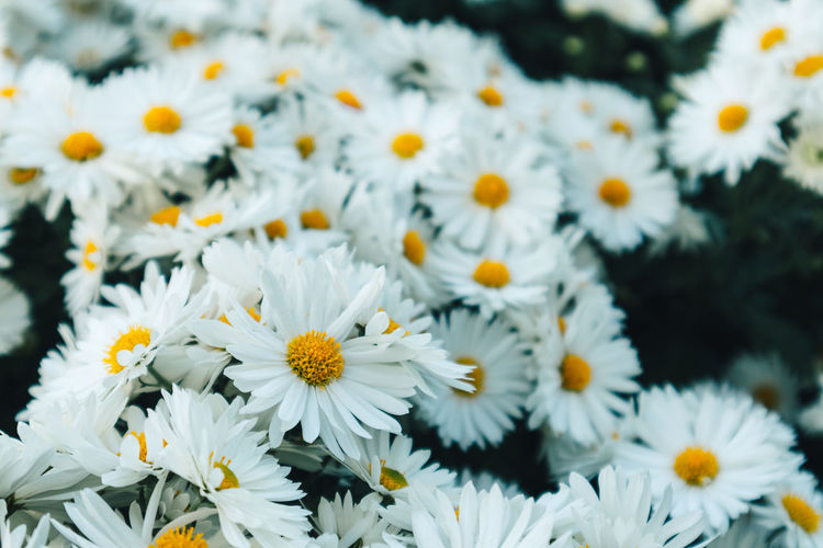 Close up of many white daisy flowers in the garden represent of purity and childlike nature.