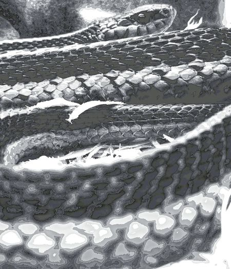 Facing a fear Reptile Close-up No People Snake Faceyourfears Blackandwhite Slither Snakes Are Beautiful Snakeskin Snakesofinstagram Snake Eyes Snakeskins Snake Photography Snake Head Snake Scales Snakeface Blackandwhitepics Blackandwhitephotography Phone Photography Phonetography Phonecamera Phone Art Phone Edited Phonographer Tranquility