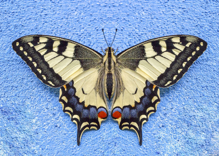 Macro Photography Papilio Machaon Animal Animal Themes Animal Wildlife Animals In The Wild Beauty In Nature Blue Blue Background Butterfly Butterfly - Insect Butterfly Macro Close-up Insect Invertebrate Macaone Natural Pattern Nature No People Papilio