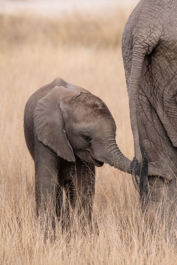 Naughty baby elephant Young Animal Animal Wildlife Elephant Animals In The Wild Animal Themes Animal Mammal Two Animals Group Of Animals Elephant Calf Animal Trunk Grass Safari No People African Elephant Animal Body Part Vertebrate Day Field Animal Family Tusk Herbivorous Arid Climate Outdoors Climate