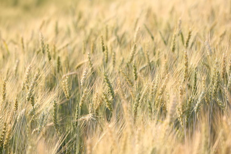 Cereal Plant Crop  Agriculture Rural Scene Field Landscape Plant Farm Wheat Land Growth Backgrounds Full Frame Nature Barley Environment No People Selective Focus Beauty In Nature Close-up Outdoors Wind Rye - Grain Ripe