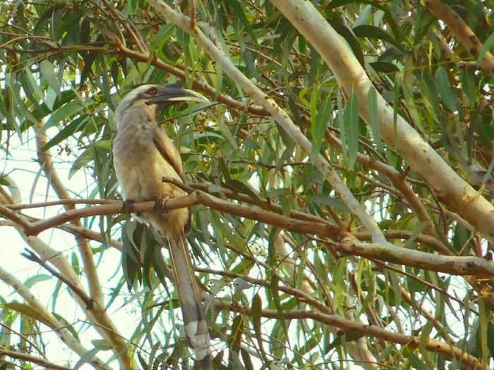 Tree Bird Animal Themes Branch Animals In The Wild Animal Wildlife Outdoors No People Nature Grey Hornbill Big Bird Birds_collection Bird Photography Bird Watching Birds