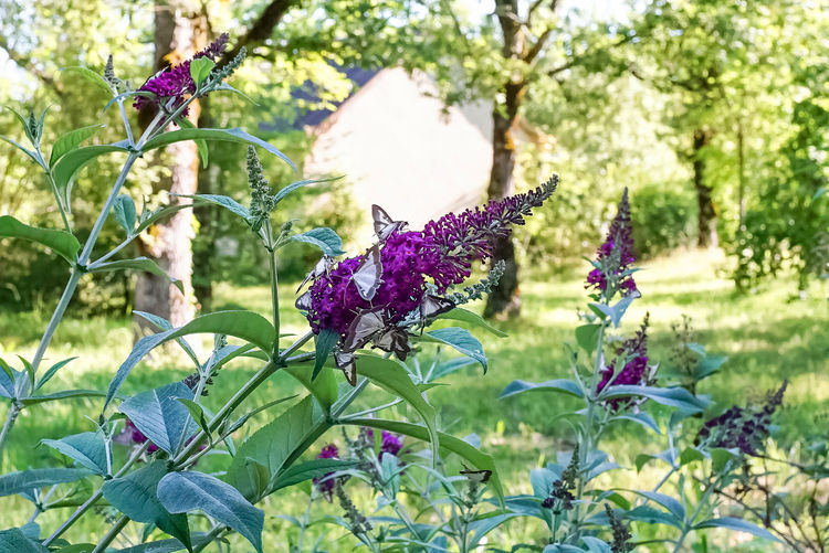 // Still Life Beauty In Nature Butterfly - Insect Close-up Day Field Flower Flower Head Flowering Plant Focus On Foreground Fragility Freshness Green Color Growth Leaf Nature No People Outdoors Petal Plant Plant Part Pollination Purple Springtime Vulnerability