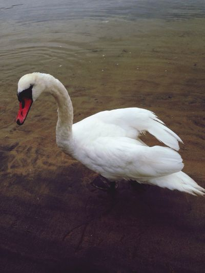 Swan That's Me Hello World My Country In A Photo