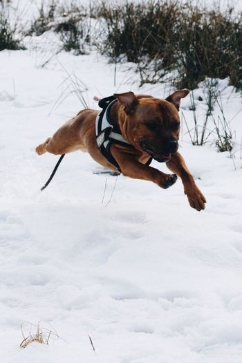 When time stands still 💎 Photography In Motion Staffygram Staffylove Staffordshirebullterrier Pets Corner Pet Photography  Staffylovers Dogoftheday Staffordshire Bull Terrier Staffy Staffysofinstagram Opie Staffy Opie