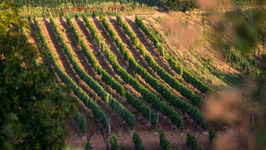 wineyard... Agriculture Beauty In Nature Crop  Day Environment Farm Field Grapes Growth High Angle View In A Row Land Landscape Nature No People Outdoors Plant Plantation Rural Scene Scenics - Nature Tranquil Scene Tranquility Vineyard Winemaking Wineyards In Spring