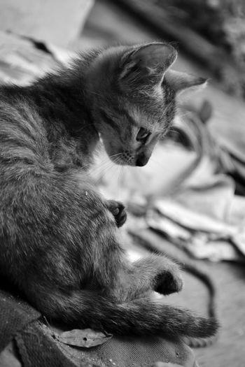 Cat Pet Black And White Monochrome