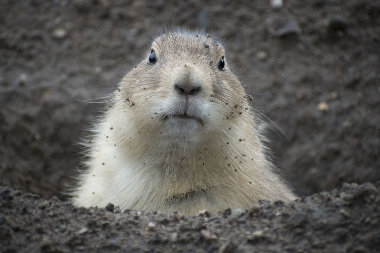 Prarie Dog Animal Wildlife Close-up Looking At Camera Mammal One Animal Outdoors Zoo Animals