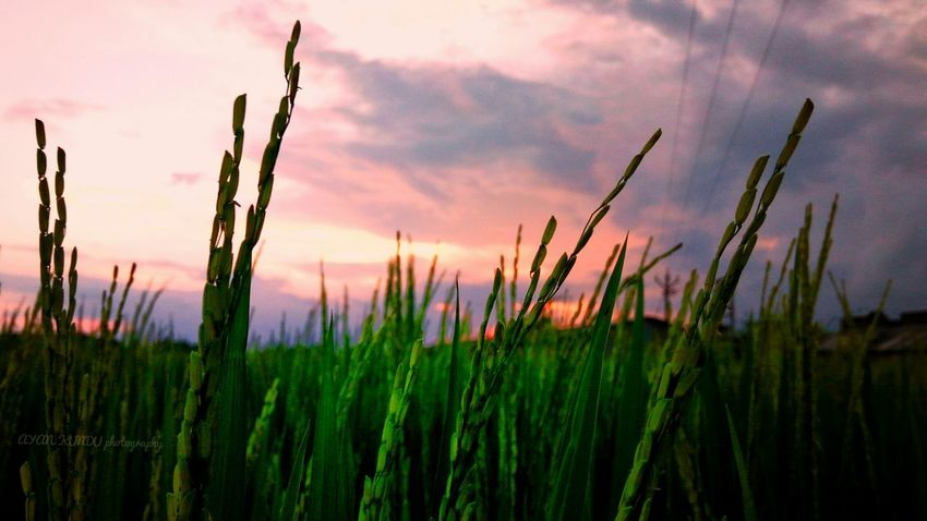 Rice field in the evening light Sunset Plant Nature Growth Cloud - Sky Sky Outdoors Rural Scene Scenics Cereal Plant Beauty In Nature Landscape Agriculture Backgrounds Day No People Summer Tree Close-up Flower