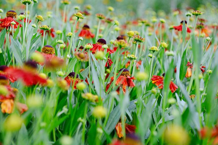 Helenium Hybride Moerheim Beauty Sneezeweed Garden Summer Garden Blooming Blossom Flower Flowering Plant Plant Freshness Growth Beauty In Nature Fragility Selective Focus Nature Land Day Red Field No People Close-up Green Color Flower Head Petal Vulnerability