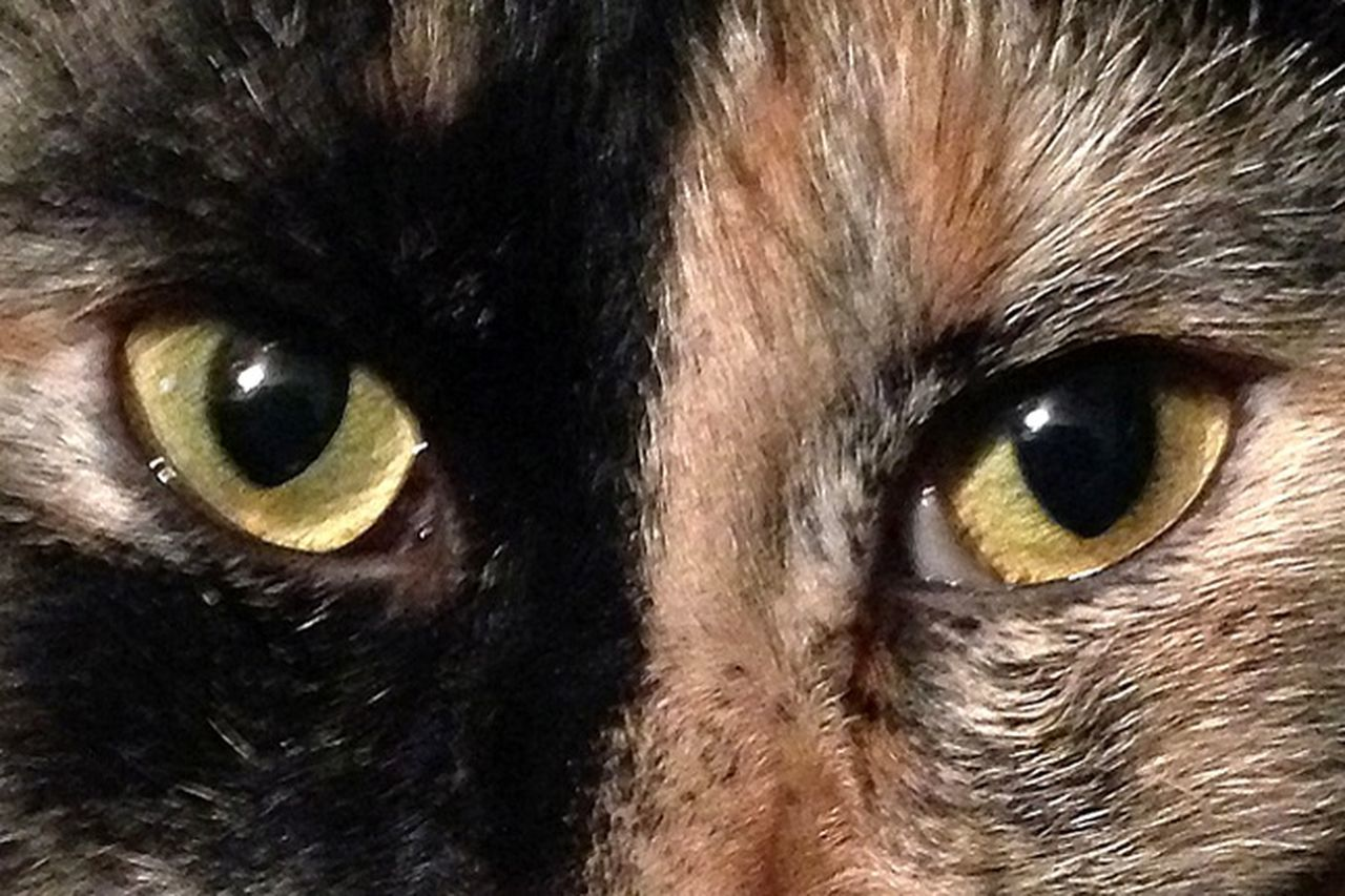 one animal, animal themes, pets, animal eye, domestic animals, animal body part, portrait, animal head, domestic cat, yellow eyes, mammal, looking at camera, close-up, backgrounds, no people, feline, outdoors, nature, day