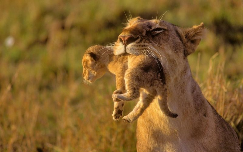 Close-up of lioness carrying cub in mouth