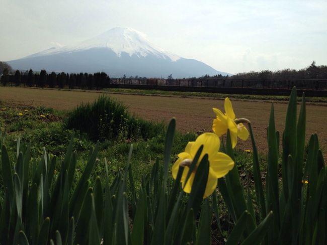 山梨 山中湖 富士山 水仙