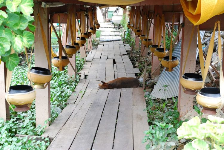 Dog Relaxing On Narrow Wooden Pathway