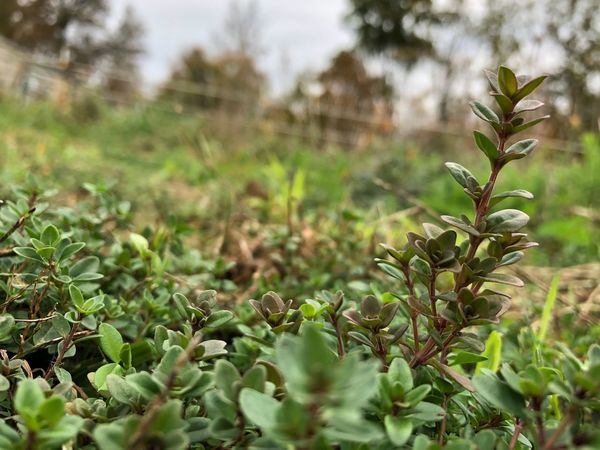 Growth Plant Nature Green Color Day No People Outdoors Focus On Foreground Leaf Beauty In Nature Freshness Close-up Fragility Thyme Thymus Vulgaris Herb Plant Organic Freshness Herb Herb Garden Fresh Beauty In Nature Growth Plant