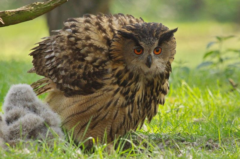 Eurasian Eagle-Owl With Young Bird On Field