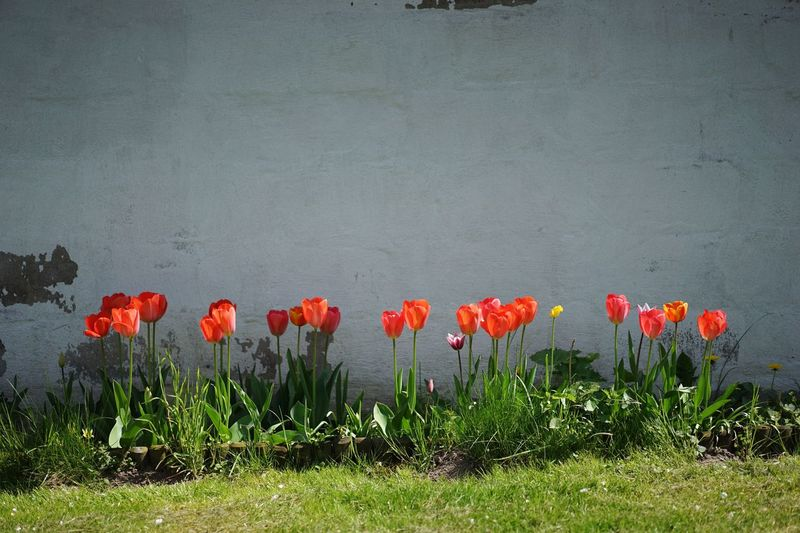 Red tulips Flower Growth Poppy Nature Plant Beauty In Nature Field Petal Spring Fragility Blooming No People Freshness Flower Head Beauty Outdoors Day