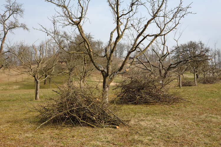 Fruit Tree Cultivation Fruit Tree Garden Tall Growing Fruit Trees Branches Twigs Apple Tree Pruning Branch No People Orchard Cultivation Pruned Branches Standard Fruit Garden Tree Winter Season
