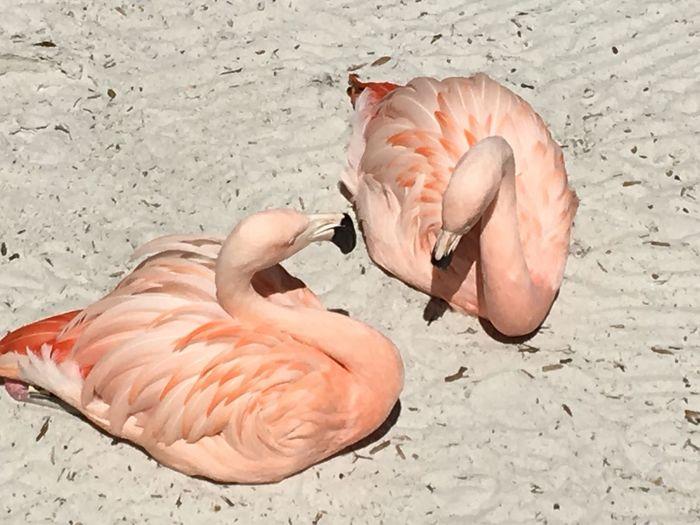 EyeEm Selects Animal Vertebrate Animal Themes Animal Wildlife Land Flamingo