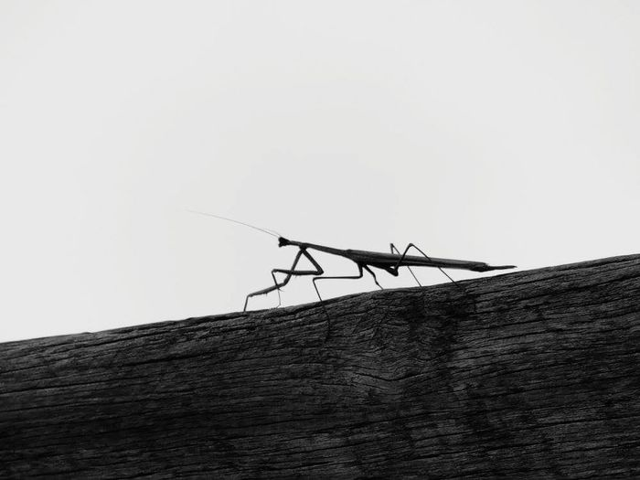 EyeEmNewHere Nature Outdoor Photography No People Close-up Animal Beauty In Nature Imsect Praying Mantis Praying Mantis On The Go Environment Day Backgrounds Black And White Photography