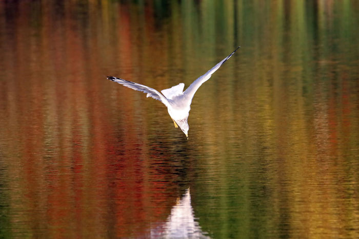 Gull Dive Animal Themes Animals In The Wild Beauty In Nature Bird Day Diminishing Perspective EyeEm Nature Lover Flying Lake Nature No People One Animal Outdoors Ring-billed Gull Spread Wings Tranquility Water Waterfront Wildlife