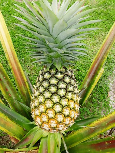 Yellow Ripe Fruit Sweet Fruit Samsungphotography Pineaple  YELLOW Pineapple