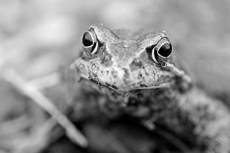 frog Animals In The Wild Blackandwhite Blackandwhite Photography Bw Close Up Close-up Detail Frog Frosch Macro Schwarz & Weiß Schwarzweiß Wildlife