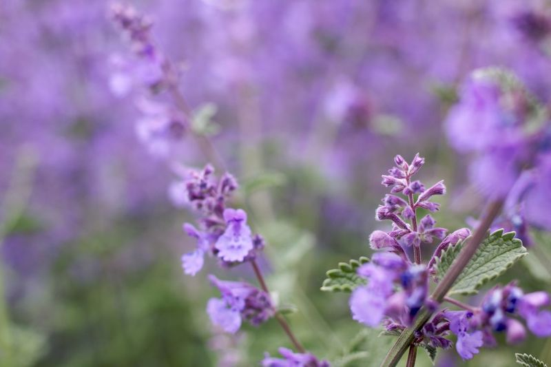 purple - my favorite color Background Backgrounds Bartblume Beauty In Nature Beauty In Nature Blurry Background Caryopteris Close-up Day Flower Flower Collection Flowers,Plants & Garden Nature No People Outdoors Plant Purple Purple Color Purple Flowers Summerflowers