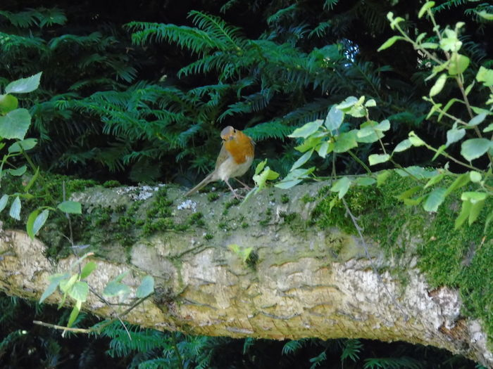 Hey! Who are you? Animal Themes Animals In The Wild Curious Robin Day Growth Mammal Nature No People One Animal Outdoors Plant Robin Robin Redbreast