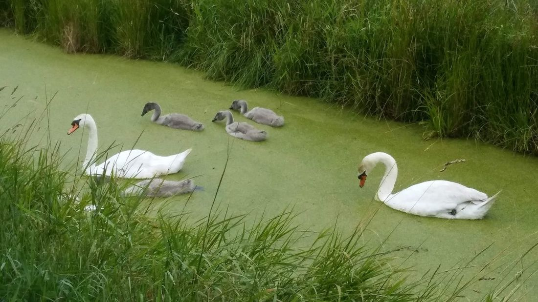 Swan Water Swimming Lake Young Animal Grass Water Bird Young Bird White Swan Black Swan Medium Group Of Animals