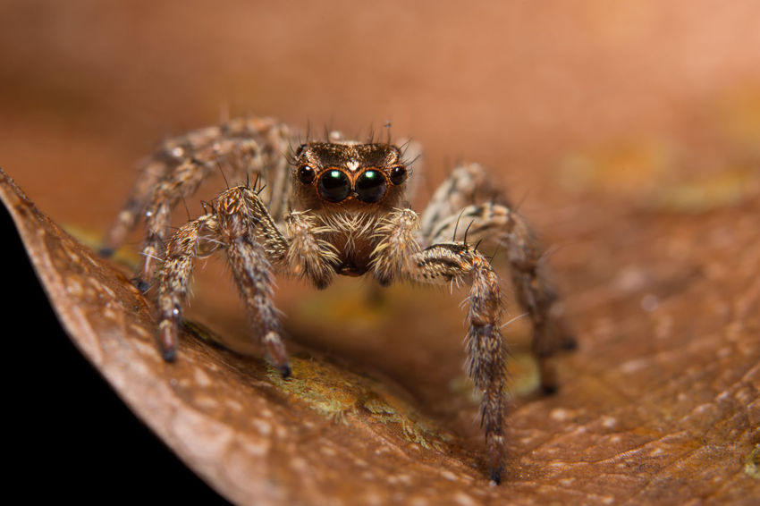 Macro Animal Spider Spider One Animal Animal Themes Animals In The Wild Animal Wildlife Jumping Spider Selective Focus No People Day Close-up Nature Outdoors