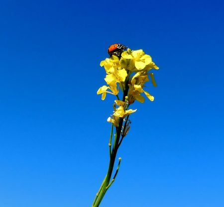 Little Ladybug on a yellow plant on a beautiful sunny day Blue Plant Sky Animals In The Wild Flower Clear Sky Beauty In Nature Copy Space Nature Animal Wildlife Flowering Plant Animal Themes Vulnerability  Insect Invertebrate Fragility Animal One Animal Day No People A New Beginning