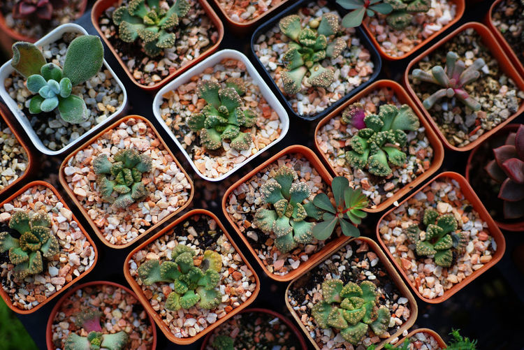Full Frame Shot Of Succulent Plants Growing At Nursery