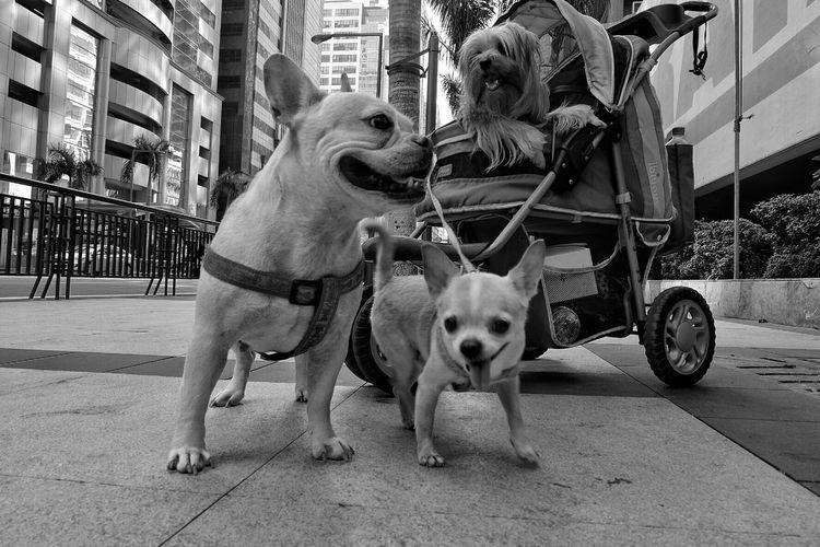 Dogs On Sidewalk