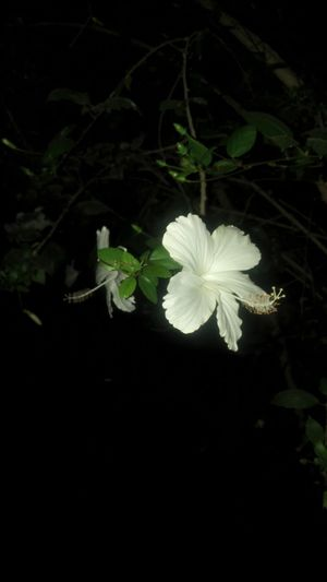 Flower Growth Plant Nature Petal Blooming Flower Head Leaf Beauty In Nature Night No People Fragility Freshness Black Background Outdoors EyeEmNewHere