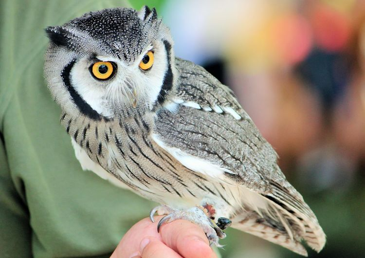 Close-Up Of Owl Perching On Person Hand