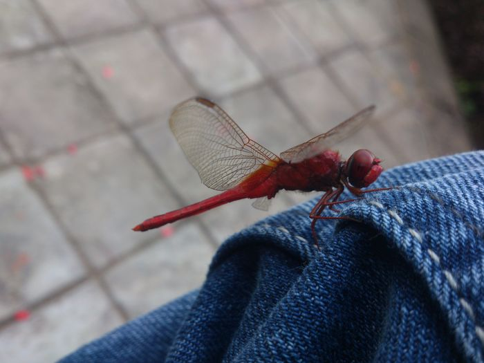 Dragonfly resting on my lap. The Mobile Photographer - 2019 EyeEm Awards Human Body Part Insect Invertebrate One Animal Animals In The Wild Human Leg Human Foot Jeans Finger Dragonfly