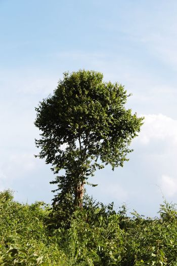 Tree Nature Beauty In Nature Solitary in North Thailand South East Asia