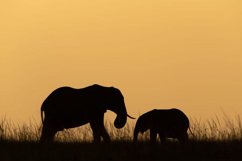 African bush elephant and calf at dusk