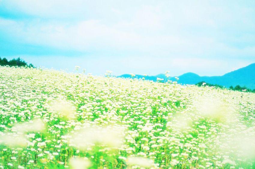 奈良 Japan Photography Enjoying Life そば畑 Flower Collection Flowerlovers