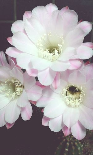 Cactus Flower Flowers