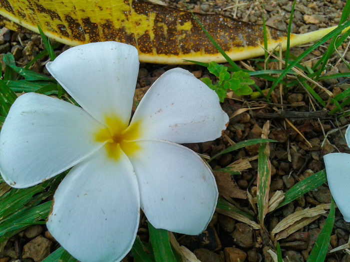 Plumeria flower fall down on the ground and grass, plumeria flower pure white. Flower Nature Day Beauty In Nature Growth Flower Head Outdoors Plant No People Freshness Close-up Fragility Outdoor Pure White Pure White Flower Flower Collection White Flower Fall Down Frangipani Flower Plumeria Plumeria Flowers Frangipani Petal