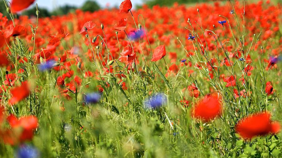 Poppy Flowers Growing On Field