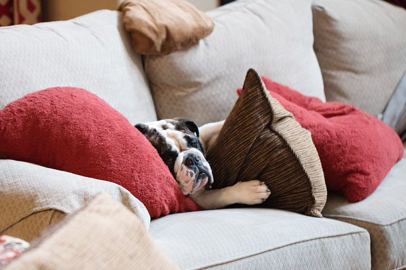 Pets Dog One Animal Relaxation Domestic Animals Animal Themes Indoors  Domestic Life Home Interior Sleeping Pillow Lying Down Mammal Cushion No People Bedroom Boston Terrier Pug Pet Bed English Bulldog
