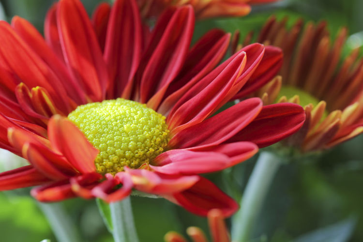 Close-up of a beautiful red Gerbera, Germany. Gerbera Daisy Flower Red Close-up Blooming Blossom Freshness Beauty In Nature Flower Head Focus On Foreground Selective Focus No People Inflorescence Growth Petal Fragility Botany Nature Day Garden Idyll Sunlight Colorful Daisy Family