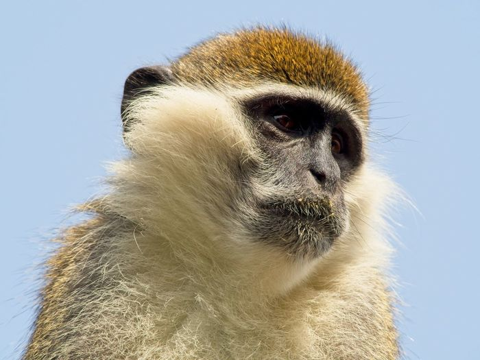 Close-up of a monkey looking away against clear sky