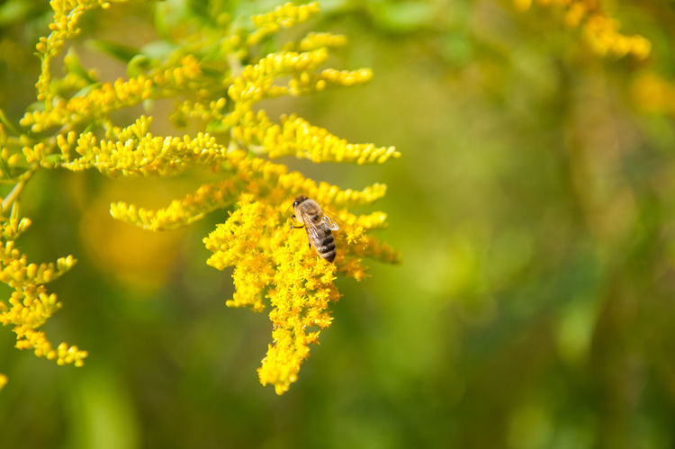 Bee taking nectar on Goldenrod flowers. Solidago virgaurea or Woundwort yellow herb flowers, zoom on honeybee sitting in plenty bushy bee plants with rampant inflorescences and green blurred background, horizontal orientation, photo taken in Poland, early autumn season. Animal Autumn Bee Bloom Blooming Close-up Flower Flowers Goldenrod Herb HoneyBee Inflorescence Insect Nature Nectar One Animal Perennial Plant Pollen Pollinate Pollination Solidago Solidago Virgaurea Woundwort Yellow