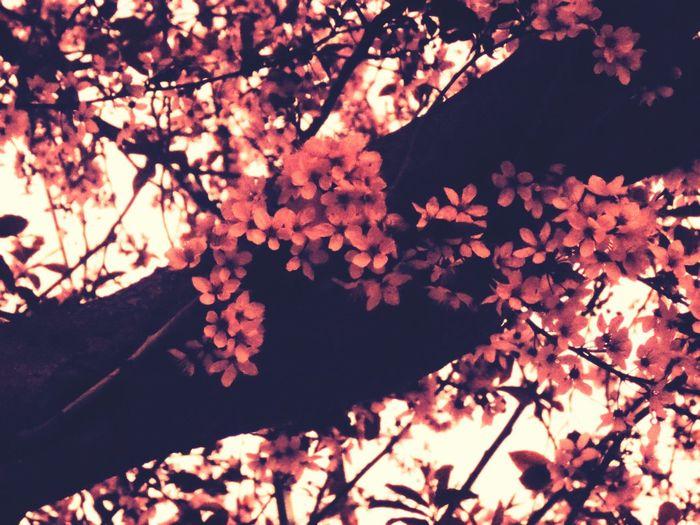 florecen los cerezos lindas Flores Flowers