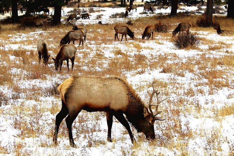 So many elk